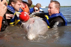 2014 January IRL Dolphin Freed From Fishing Gear