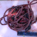 pygmy sperm whale rope