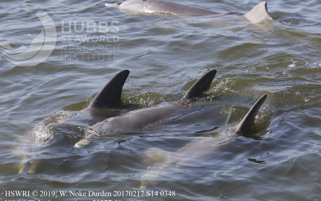 Just how many dolphins live in the Indian River Lagoon? It would take a small village to find out.